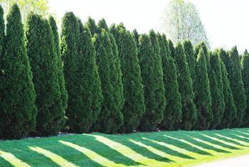 Which Is Better: Cypress or 'Green Giant' Arborvitae?