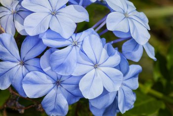 Growing Tips for a Blue Plumbago