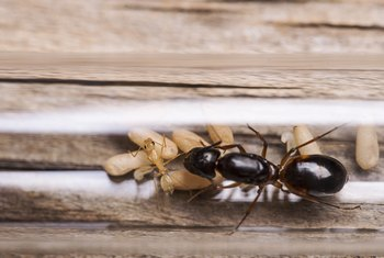 Homemade Ant Killer With Boric Acid