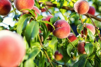 How to Plant Peach Seeds Indoors First