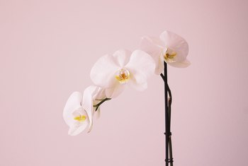 How to Grow Orchids From Cuttings