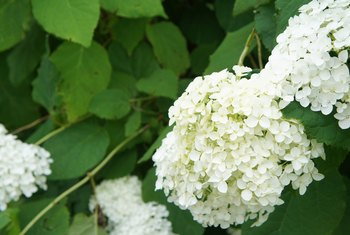 How to Prune an Annabelle Hydrangea