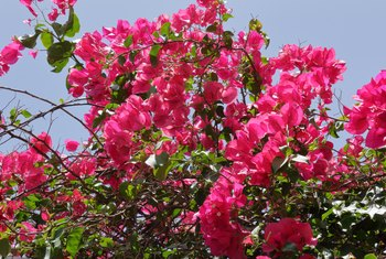 How to Make Bougainvillea Bloom