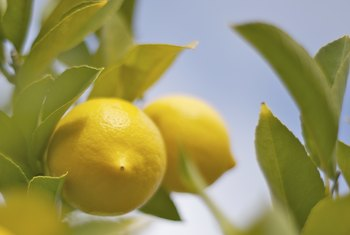 When Is a Lemon Ripe & Ready to Eat?