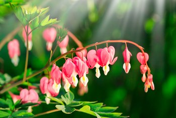 Life Cycle of the Bleeding Heart Plant