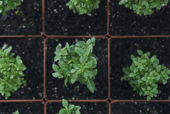 How to Cure Overwatered Basil