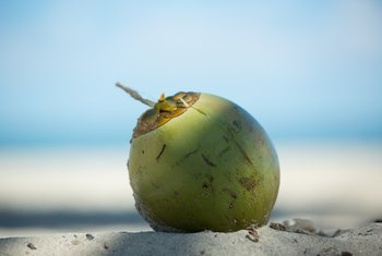 How to Tell When Coconuts Are Ripe on the Tree