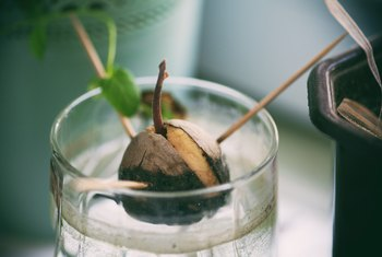 Which End of the Avocado Seed Goes in Water?