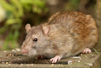 How to Close a Rat Hole in a Garden | Home Guides | SF Gate