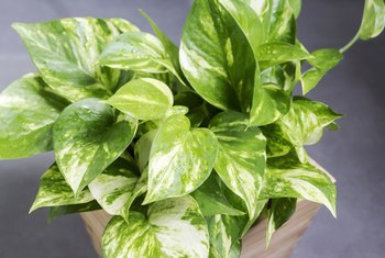 What Type of Container Should You Use for a Pothos Plant?