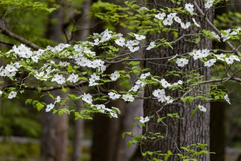 Treatment For Dogwood Trees That Are Not Blooming Home Guides Sf