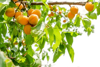 How Long Does It Take for Apricots to Grow Fruit?
