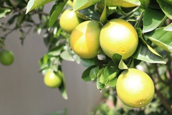 Why Do Lemon Tree Leaves Turn Yellow?
