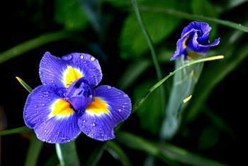 How to Trim Iris Leaves After Blooming
