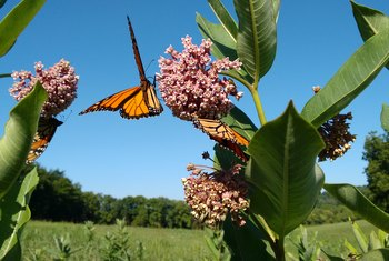 How Poisonous Is Milkweed to Humans?