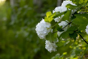 Can I Grow a Snowball Bush From a Branch?