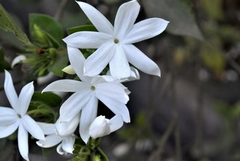 Night-Blooming Jasmine Plant Care