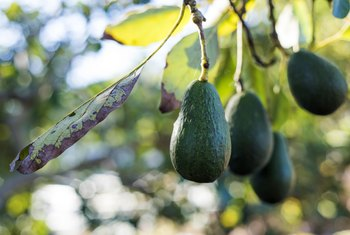 Conditions Required To Grow An Avocado Tree Home Guides Sf Gate