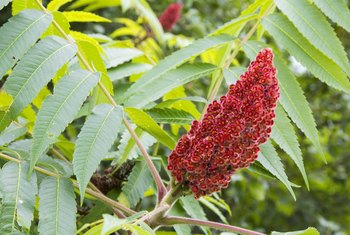 How to Remove Sumac Trees