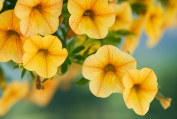 Should Petunias Be Pinched Back While Growing?