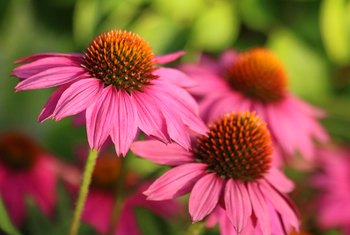 How to Prune Coneflowers