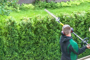 The Watering Needs of Arborvitae Trees