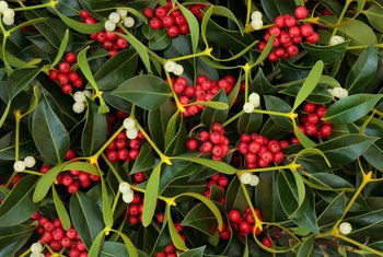 Instructions for Planting & Caring for a Holly Bush