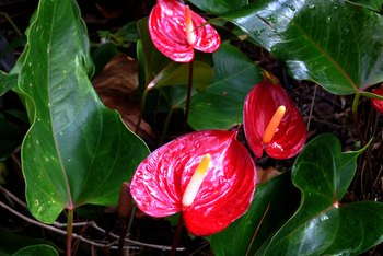 What Causes Brown Leaves on Anthurium?