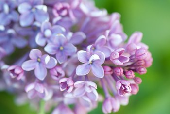 How to Prune Dwarf Lilac Bushes