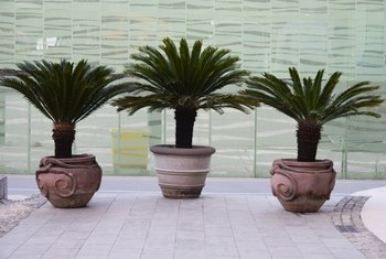 How to Grow Sago Palms in Pots