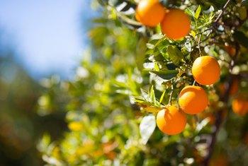 Care Maintenance Of An Orange Tree