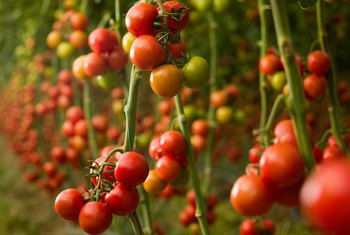 Natural Remedies for Tomato Blight & Powdery Mildew