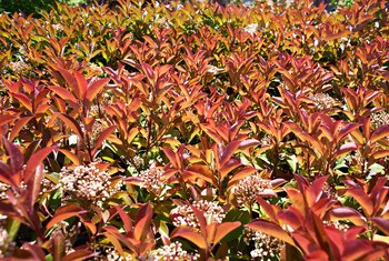 How to Cure Black Spots on a Red Tip Photinia