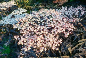 How to Care for Black Lace Elderberries