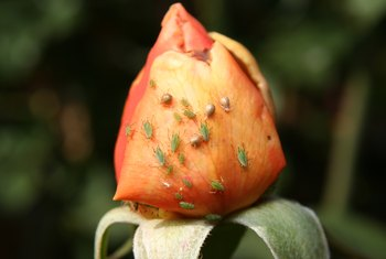 Dish Detergent As a Home Remedy for Aphids on Roses