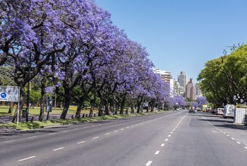 How Old Does a Jacaranda Tree Have to Be to Bloom?