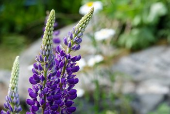 How to Start Lupine Seeds