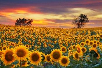 How To Deadhead Sunflowers Home Guides Sf Gate