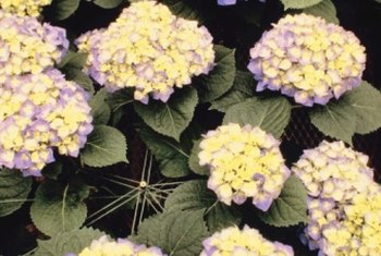 Hydrangeas thrive in partial shade or eastern exposures.