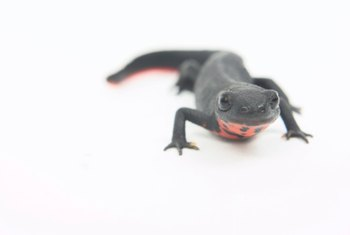This salamander can eat many pests in your garden.