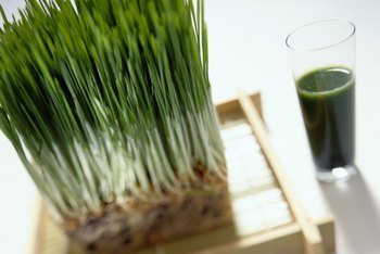 Wheatgrass is a popular health food.