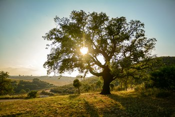 How Many Years Can it Take for an Oak Tree to Produce its First Acorn?