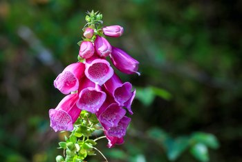 How to Care for Foxglove After Blooming
