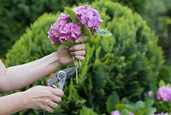How to Prune Hydrangeas With Dead Wood & Stems