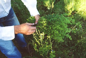 How to Prune Oregano