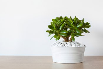 What Do You Do for a Droopy Jade Plant?