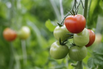 How to Care for Better Boy Tomato Plants