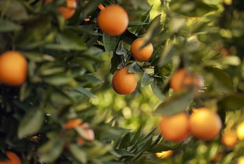 How Long Does it Take for Oranges to Grow on a Fully Developed Tree?