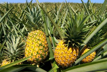 Does a Pineapple Grow Best in Sand, Soil or Water?
