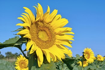 When to Cut a Sunflower's Stalk Off